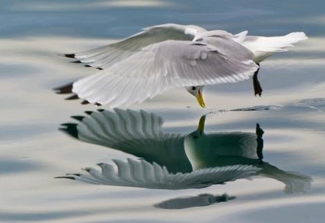 Gaivota-reflexo-no-espelho-de-agua
